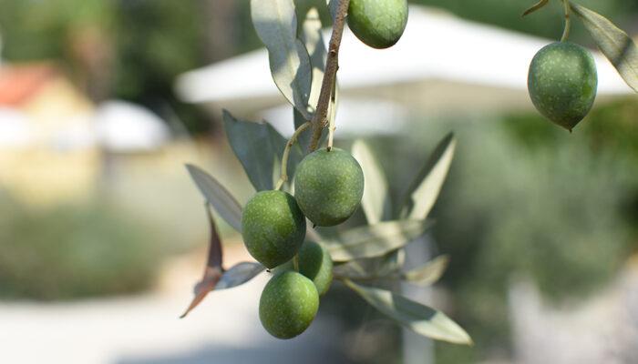 Stokoude olijfbomen, geurende lavendel en uitbundig bloeiende oleanders in de Mediterane tuin van Casa Luconi
